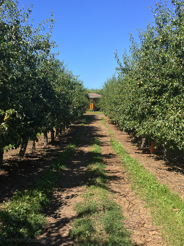 Stemilt Orchards - cherry picking | @tasteLUVnourish on TasteLoveAndNourish.com